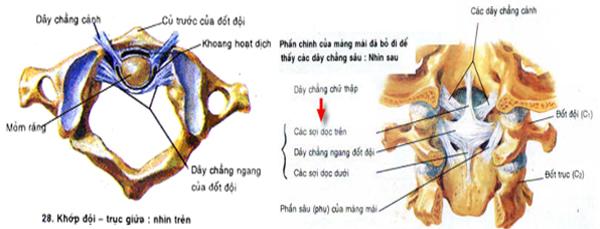 Giải phẫu hệ thống dây chằng cột sống cổ cao