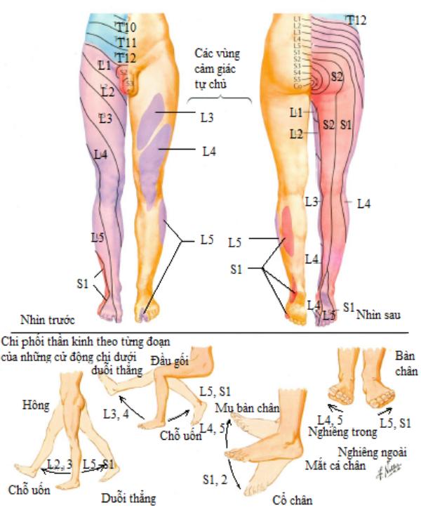 Chi phối cảm giác và vận động các rễ thần kinh thắt lưng