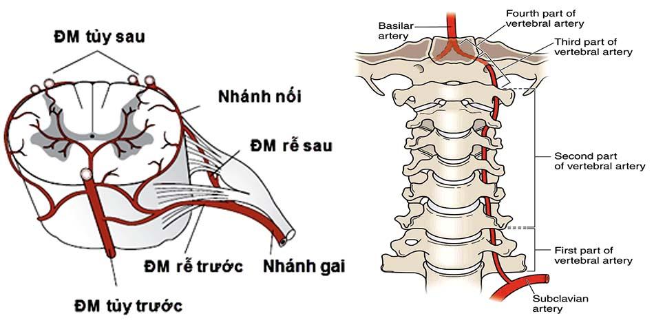 Động mạch cấp máu cho cột sống và tủy cổ